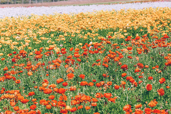 The Flower Fields in Carlsbad, CA via Barefoot Blonde