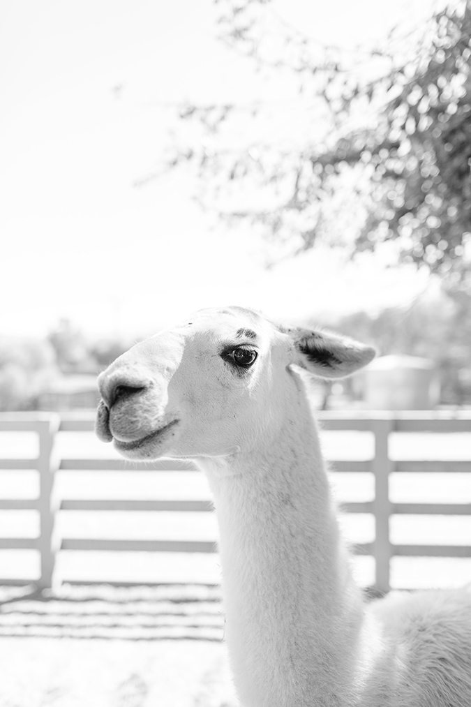 our llama friend Yoda, at Farm Sanctuary